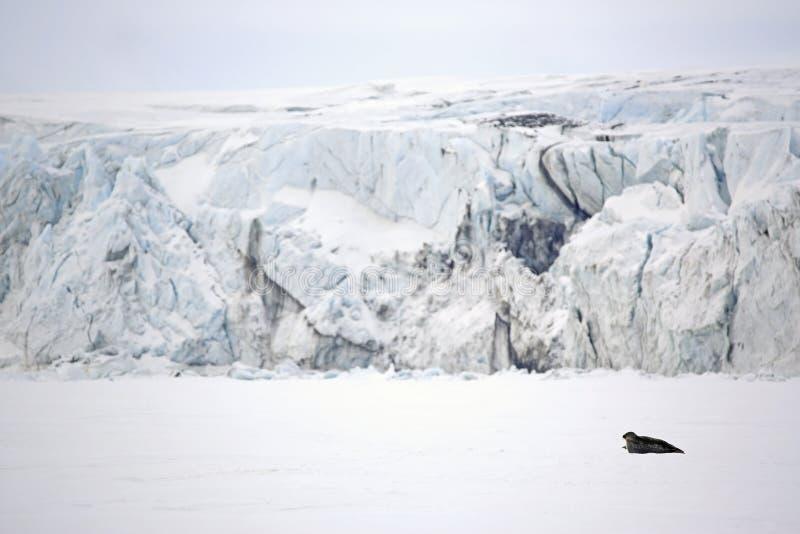Ringelrobbe auf dem Eis stockfoto
