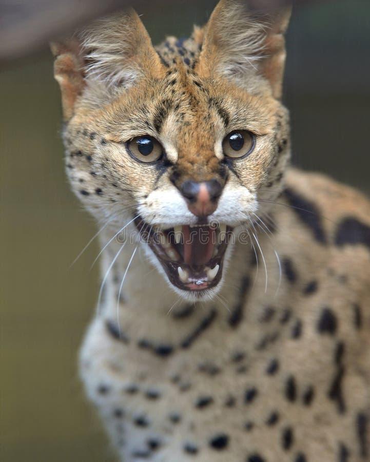 Ringhio adulto maschio del serval africano immagine stock