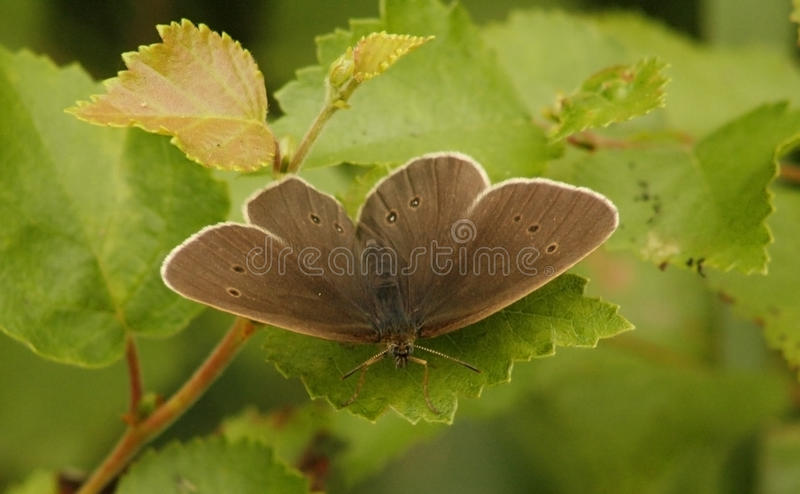 Ringlet royalty free stock photos