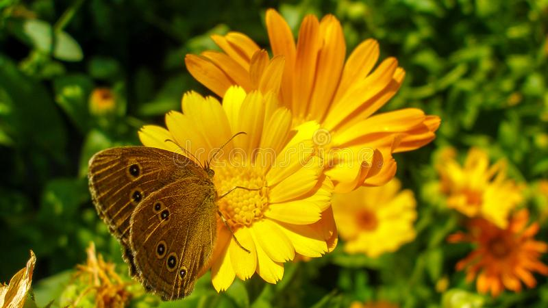 Ringlet motyli obsiadanie na nagietka kwiacie fotografia stock
