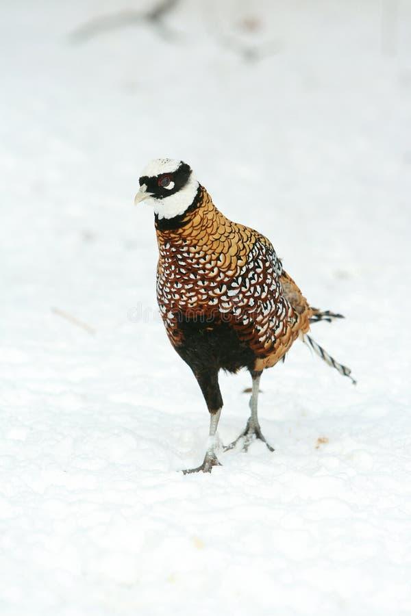 Ringneck-Fasan, der auf den Schnee im Winter geht lizenzfreie stockbilder