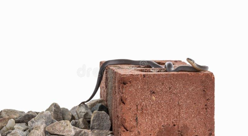 Ringneck orm på tegelsten arkivbilder