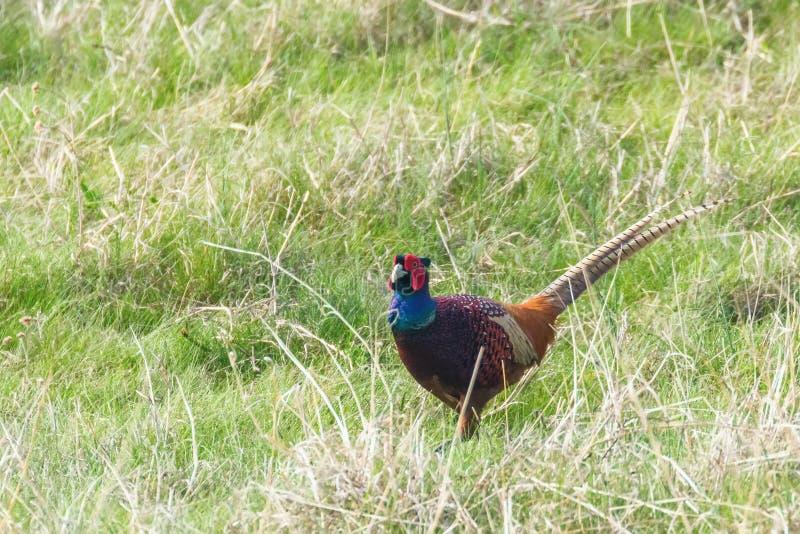 Ringneck Pheasant Male Phasianus colchicus Ring necked Pheasant. Wildlife stock photography