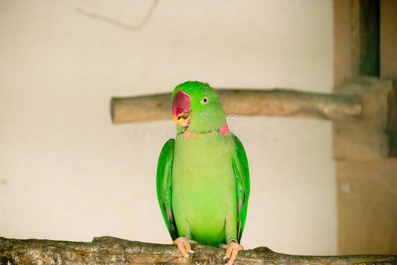 Ringnecked parakiter i zoo royaltyfri foto