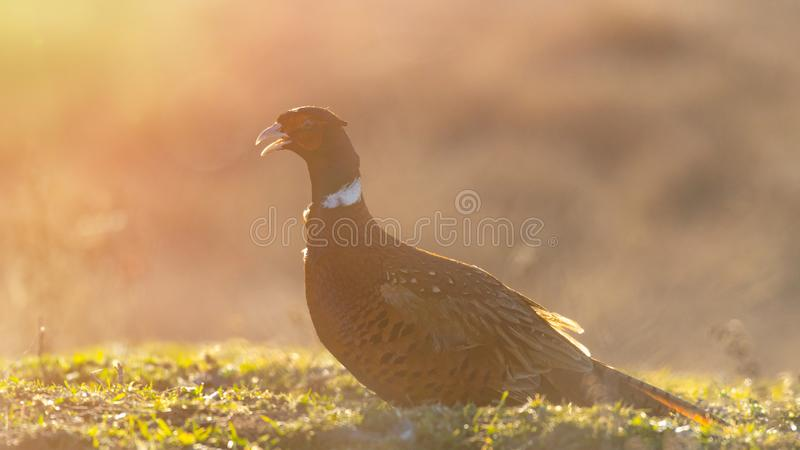 Ringnecked pheasant male, Phasianus colchicus, in beautiful light. Backlit.  royalty free stock photography