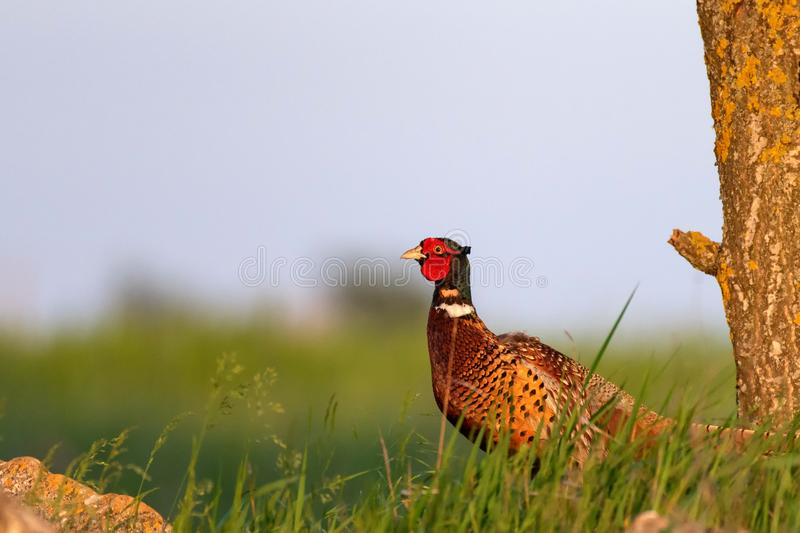 Ringnecked pheasant male, Phasianus colchicus, in grass on a beautiful sunlight.  stock photography