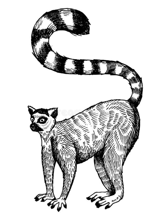 Ringowa ogoniasta lemura rytownictwa wektoru ilustracja ilustracja wektor