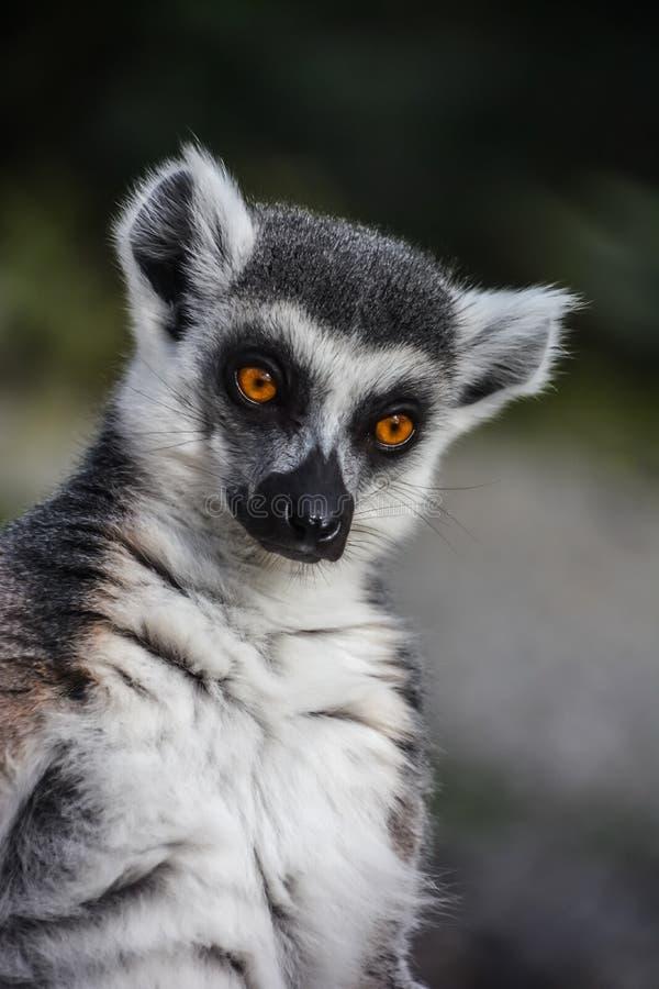 Ringowy Ogoniasty lemur od tropikalnego Madagascar - lemura catta - zdjęcia royalty free
