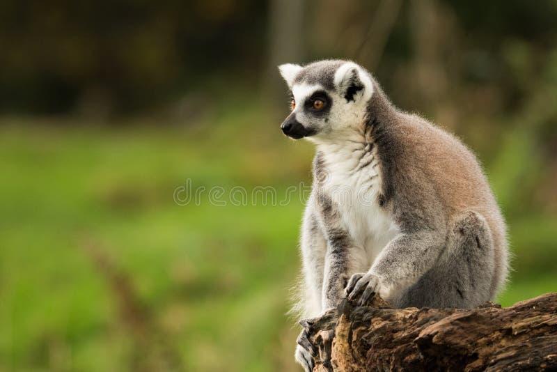 Ringowy Ogoniasty lemur siedzi samotnie obraz stock