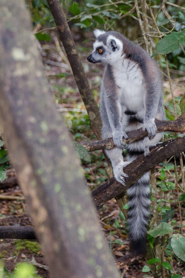 Ringowy ogonu lemur Na punkcie obserwacyjnym fotografia royalty free