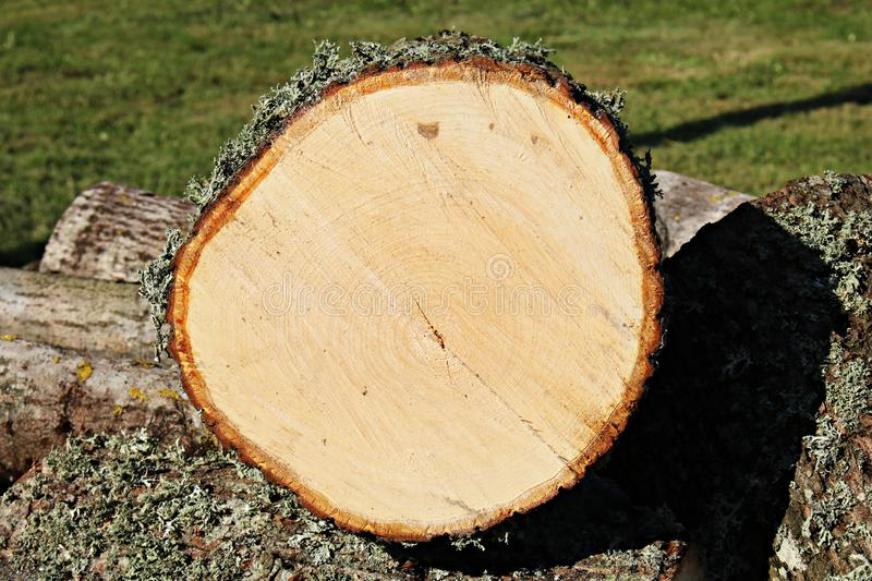 Rings on the sawn trunk of a thick tree show his age royalty free stock photos