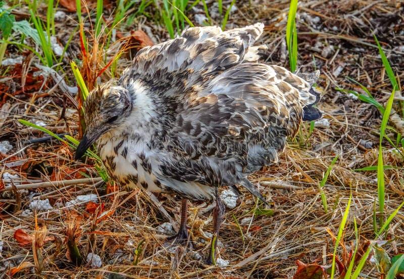 Ringschnabelmöwe des gewordenen Vogels im Sommer stockbild