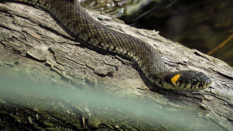 Ringslang op login het water Ringslang Waterslang reptiel reptilian stock afbeeldingen