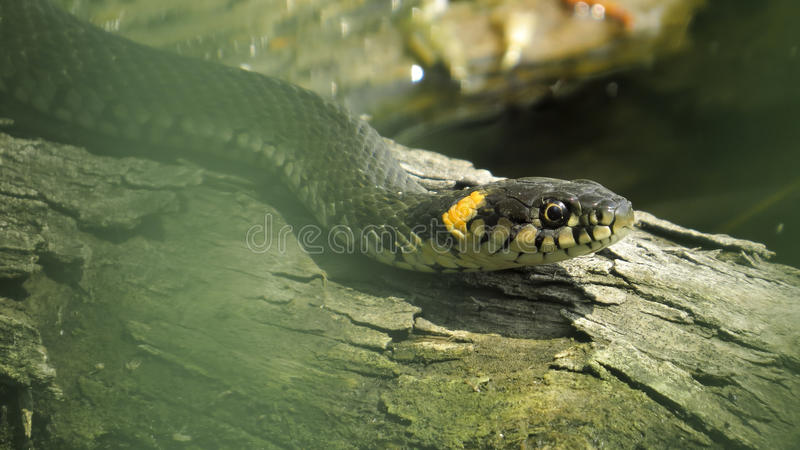 Ringslang op login het water Ringslang Waterslang reptiel reptilian royalty-vrije stock afbeelding