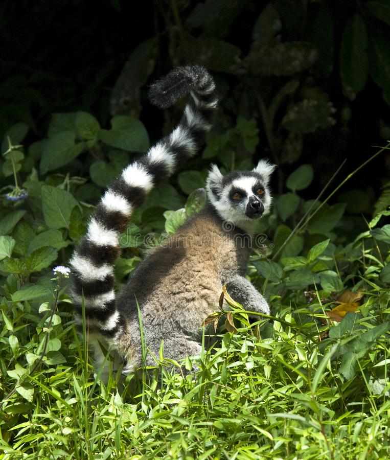 Ringstaartmaki, Ring-tailed Lemur, Lemur catta. Ringstaartmaki, Ring-tailed Lemur stock photos