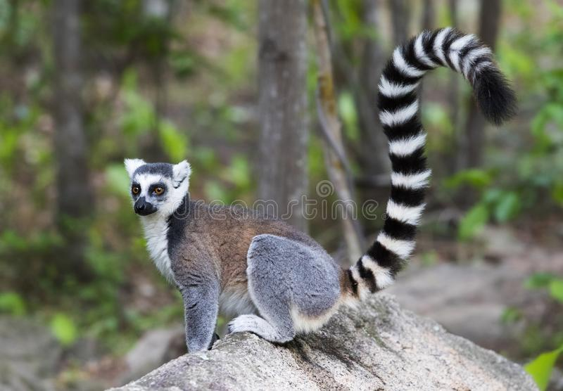 Ringstaartmaki, Ring-tailed Lemur, Lemur catta. Ringstaartmaki alert op rotsblok; Ring-tailed Lemur (Lemur catta) on the alert royalty free stock image