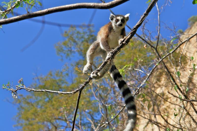 Ringtail maki/lemur stock photos