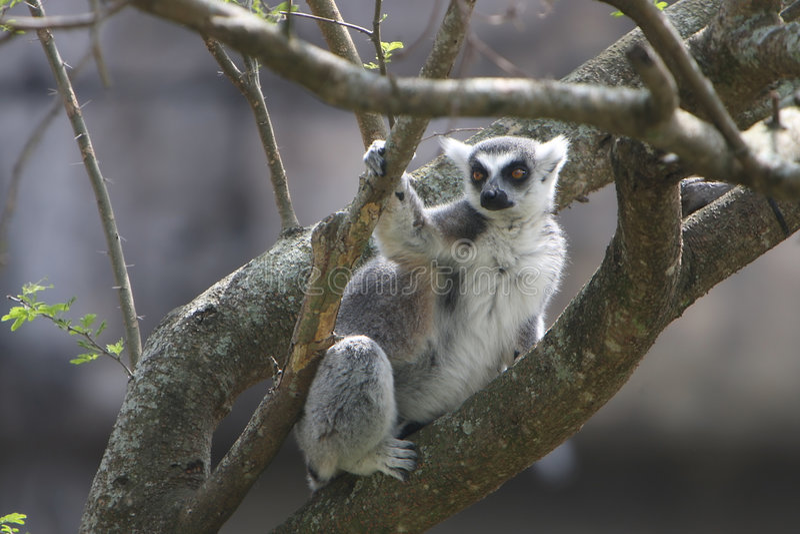Ringtailed Lemur stock images