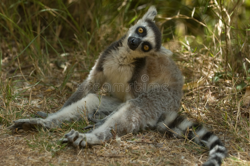 ringtailed lemur fotografering för bildbyråer