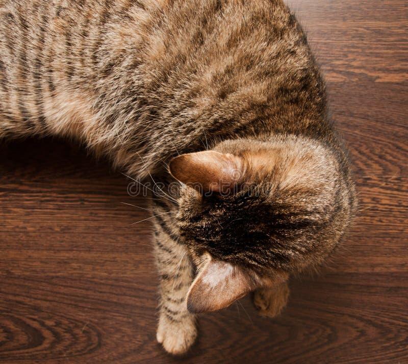 Ringworm в коте стоковые фотографии rf