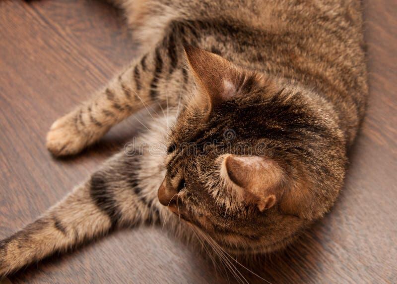 Ringworm в коте стоковая фотография