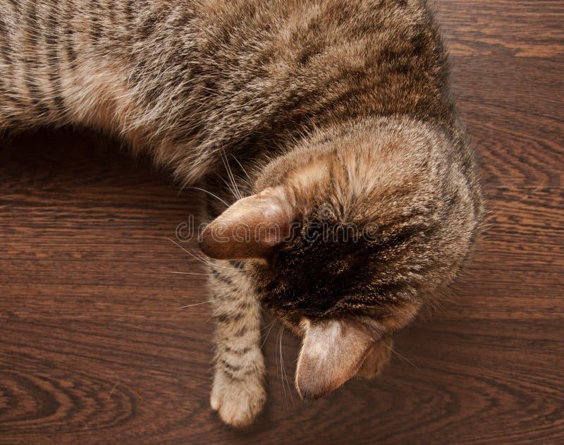 Ringworm bij kat stock foto