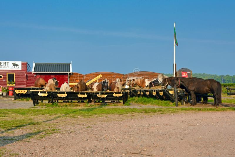 Rining stable on Texel with horses lined up for breakfast stock photo