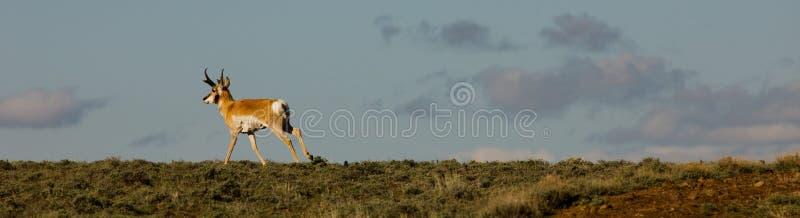 Rinnande antilop i Nevada \ 's-svart vaggar öknen arkivbild