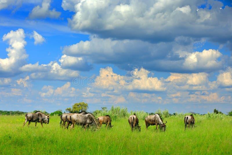 Rinnande blå gnu, Connochaetestaurinus, på ängen, stort djur i naturlivsmiljön i Botswana, Afrika Afrikanska länder arkivfoto