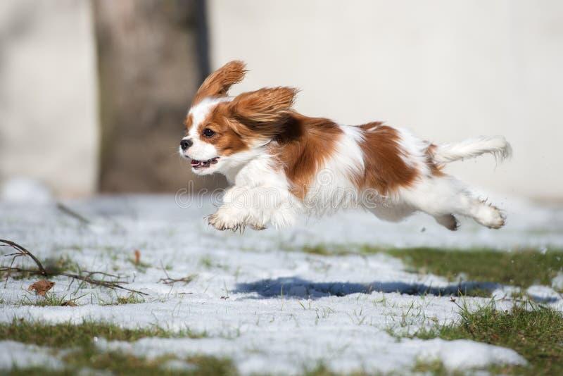Rinnande det fria för stolt spanielhund för konung charles i vinter fotografering för bildbyråer