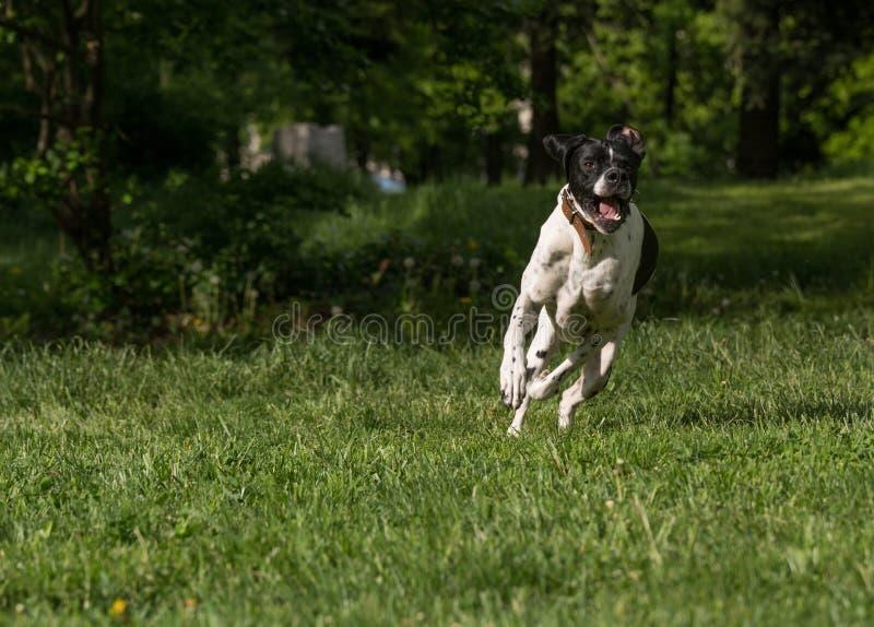 Rinnande engelsk pekarehund arkivbilder
