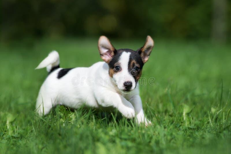 Rinnande förtjusande valp för stålarrussell terrier utomhus royaltyfri foto