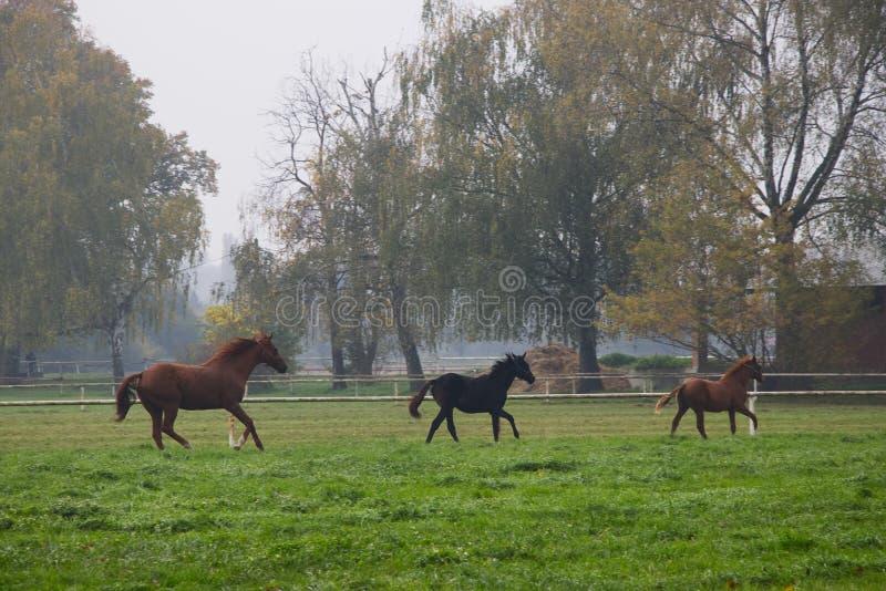 Rinnande flock av hästar i höstligt landskap fotografering för bildbyråer