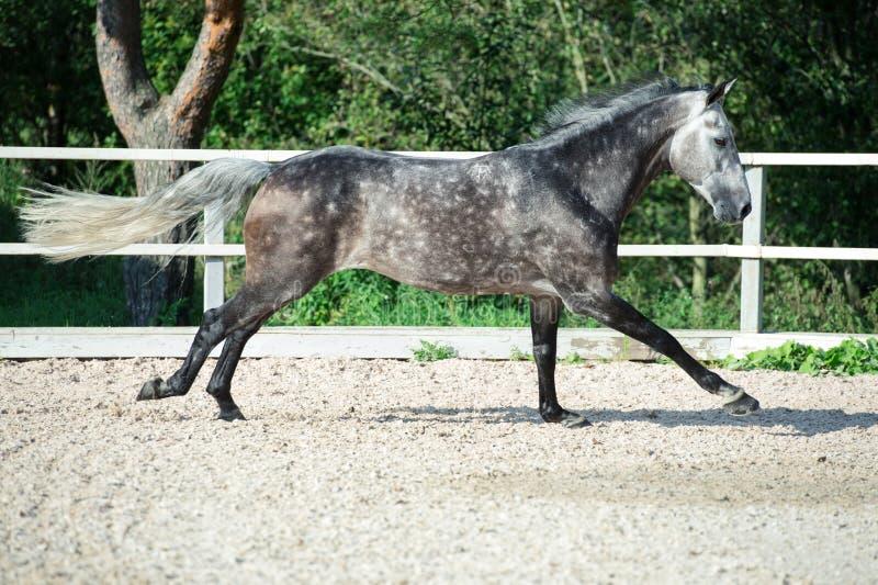 Rinnande grå sportive häst i rätta fotografering för bildbyråer