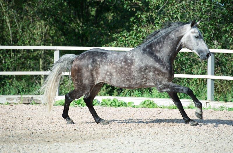 Rinnande grå sportive häst i rätta royaltyfri foto