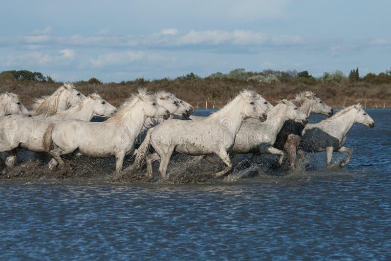 Rinnande hästar royaltyfria bilder