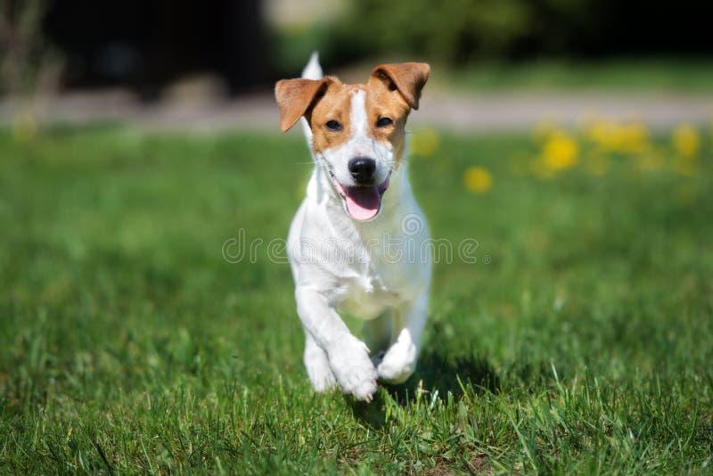 Rinnande hund för stålarrussell terrier utomhus arkivbild