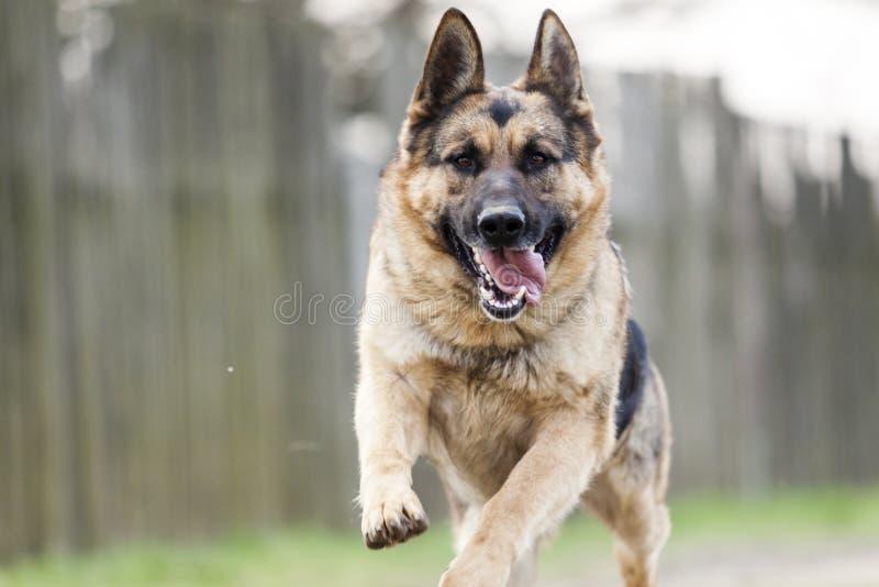 Rinnande hund - tysk herde arkivbild