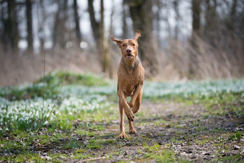 Rinnande ungersk vizslahund i snödroppefält i skog arkivfoto