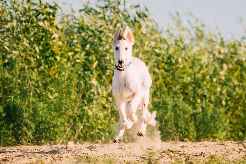 Rinnande valp av ryska vinthunden som jagar den Sighthound Russkaya Psovaya Borzaya hunden royaltyfri bild