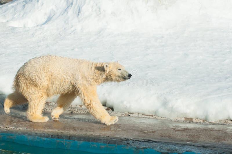 Rinnande vit björn royaltyfria foton