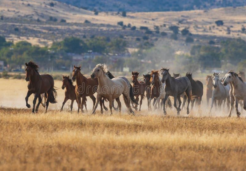 Rinnande Wild hästar royaltyfri fotografi