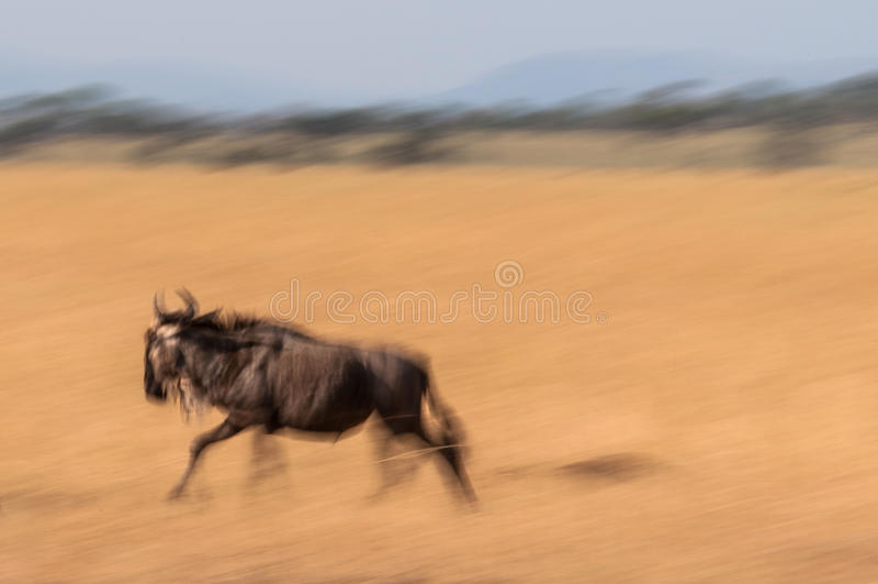 Rinnande wildebeest royaltyfria foton