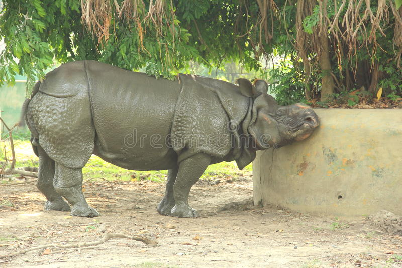 Rino In ein Zoo. lizenzfreies stockbild
