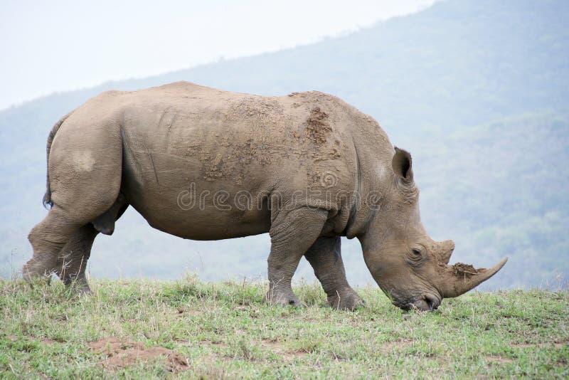 Rinoceronte immagini stock libere da diritti