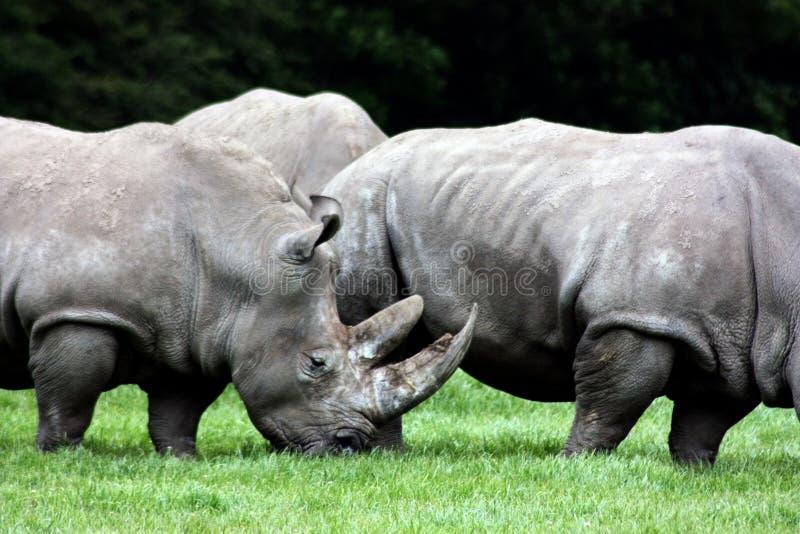 Rinoceronte 3 fotos de stock royalty free