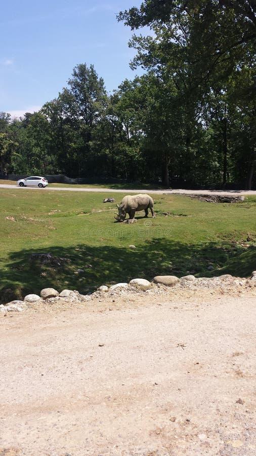 rinoceronte obrazy stock