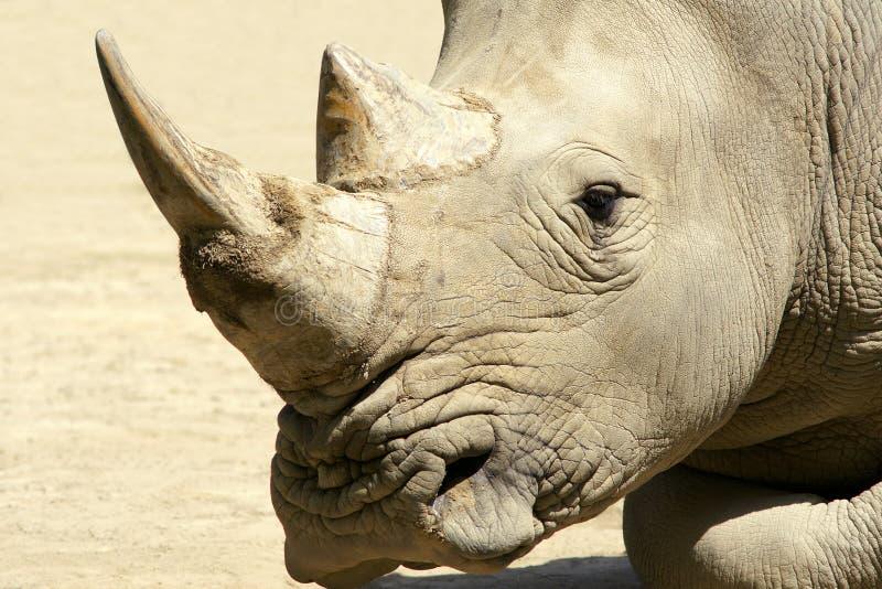 Rinoceronte africano fotografía de archivo