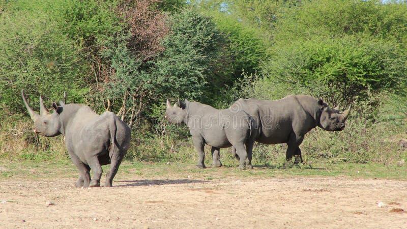 Rinoceronte, africano nero raro e specie in pericolo di estinzione fotografia stock