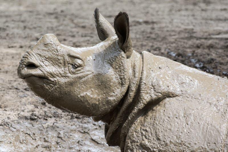 Rinoceronte após um banho de lama imagem de stock royalty free